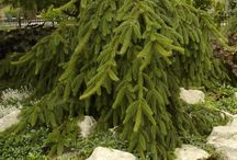 Our Work:  Evergreen Trees / Evergreen Trees in the Landscape