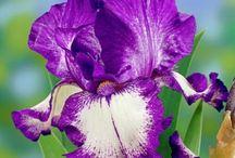 Flori de gradina, arbusti ornamentali si flori de apartament / Am colectionat aici cele mai frumoase flori si arbusti ce se pot cultiva in gradina casei sau in ghivece. Pentru fiecare floare in parte veti gasi informatii despre plantare, cultivare, ingrijire, intretinere si inmultire. Sper sa fie utile tuturor gradinarilor amatori :)