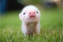 Pigglet illustrations