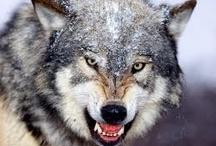 Wolf Refs