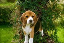 Dogs- beagles / Beagles