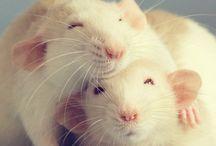 I miss my ratties :( / by Stephanie Buckingham