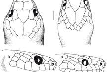 Anatomia cobras