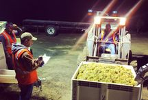 Harvest 2014 / We would like to share with you all aspects of our 2014 grape harvest. These delicious wines will be available for you to sample and purchase at the winey! You can also find us on Facebook and Instagram at VSattui.   / by V. Sattui Winery
