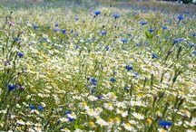 British Meadow