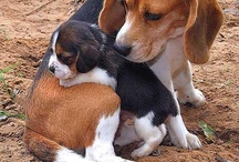 For the love of Beagles