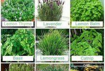 Mosquito Free Plants