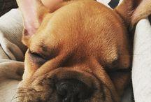 French bulldog Boczi / Buldog francuski - Boczek