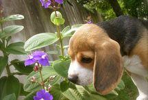i lov beagles