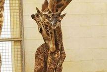 IHeartGiraffes / by Rochelle Williams