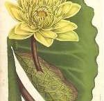 waterlily & lotus