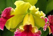 Orchid - Orquideas