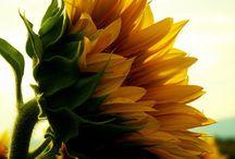 Sonnenblume / wir hoffen Ihnen eine sonnen in Ihre Gesicht