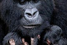 I love gorillas