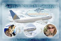 Cat Blog Posts / All about Savannah cats and the care of Savannah cats.