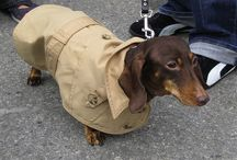 Doggies / Pictures of doxies / by Amanda Jennings