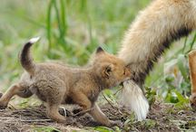 Fluffy foxes