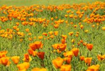 California poppy / The California poppy is the state flower of California and has been used for centuries for medicinal and decorative purposes.
