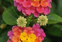 ensi v:sen kukat