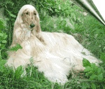 Afghan Hound / International Dog's Personal Websites Catalogue