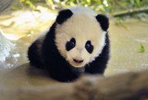 Panda / So cute
