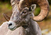 LIFE goats, sheep