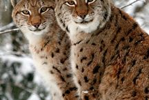 Wild Cats / by Tami DeVore