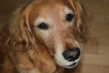 Ella my precious Golden