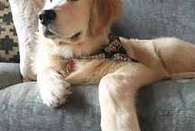 Golden retrievers :)