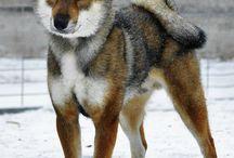 Klipallarští psi / Vzhled čistokrevných Klipallarských psů.  Klipallarští psi jsou velmi podobní Kredévanským psům. Stavba těla je stejně vyrovnaná, nicméně jsou o něco menší a jejich rysy jsou kulatější. Vysocí bývají kolem 90 cm. Srst je hustá, ale není dlouhá. Uši jsou vzpřímené, ale zakulacené. Ocas mívají stočený na hřbetě.
