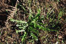 plante corse