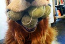 Best Durable Chew Toys For Large Dogs / Large dogs have large teeth and need durable chew toys designed for large dogs.