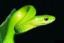 Serpent blood