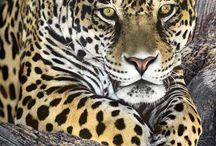l'amica del giaguaro e di altri felini