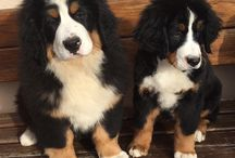 Swiss Bernes Mountain Dogs