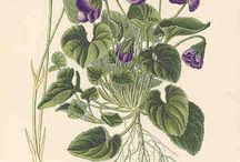 viola odorata blessings