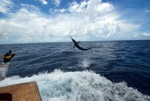 Blue Marlin August 2013 / Blue fought in August 2013