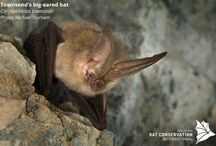 Bats of North America / The United States and Canada are home to 3% of the world's bat species. While diversity is not as high here as in other regions, the 47 species found in the U.S. and Canada include one species listed as Critically Endangered and two as Endangered on the IUCN Red List of Threatened Species.