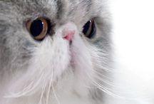 Persian cats / Super pretty cats