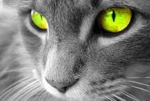 Katten wallpapers / Als achtergrond kan je een mooie kattenfoto plaatsen als wallpaper. Hier vind je een aantal schitterende foto's van katten.