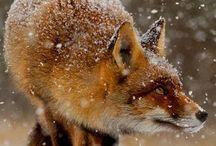 Fox / Fotos & Illustrationen