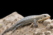 African plated lizards / All species of the Gerrhosauridaea