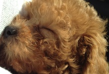 Poodle Pics / by Leo Wuff