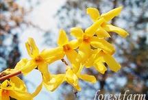 Best Spring Flowering Shrubs