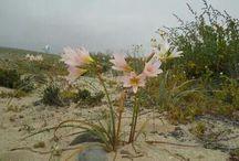 Flores desierto chileno