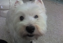 Woody the Braveheart / This board is dedicated to my sweet Westie boy who recently crossed the Rainbow Bridge (4/12). Although, I rescued him in his final years, he has left a pawprint on my heart that will last a lifetime. He lived up to his given name...he went through a lot and was a fighter every step of the way, bless his little heart. These are my personal photos of him.
