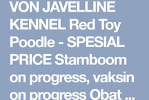 Von Javelline Kennel jual anjing Red Toy Poodle SPECIAL PRICES