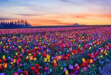 Tulipas flores