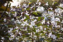 trädgårdens blommor o buskar