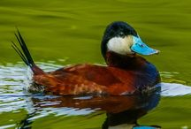 Ruddy duck / Reference material